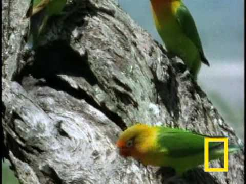 Birds of Paradise - Lovebirds