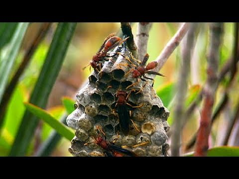 Out of the Wild: Venezuela - Painful Wasp Hunt