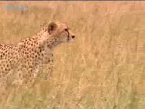 Endangered baby cheetah - BBC wildlife
