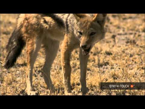 Baby animals & a jackal on the hunt