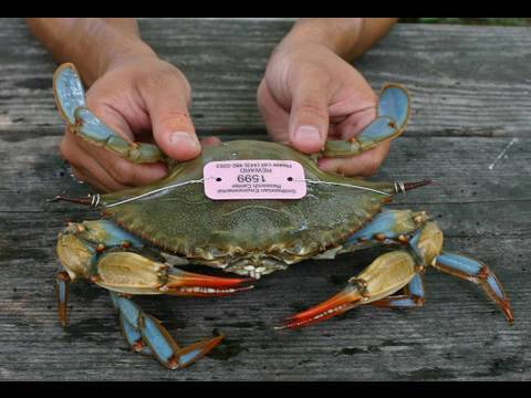 Blue Crab Science at the Smithsonian