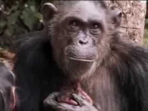 A new cute baby chimpanzee is born in the wild jungle - BBC wildlife
