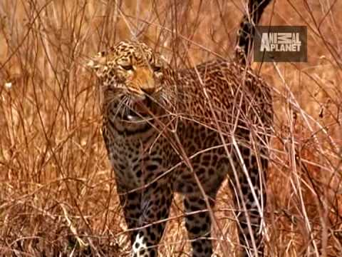 Ultimate Animal Moms - Hyena vs Leopard