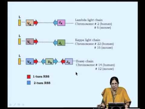 Mod-05 Lec-09 Organization of immunoglobulin genes