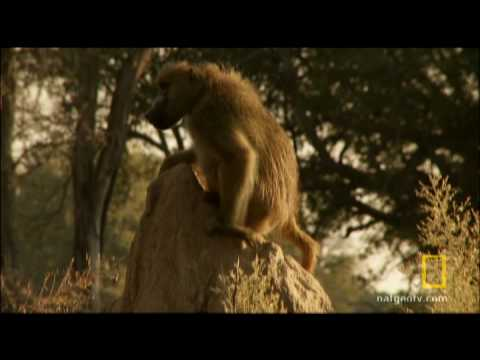 Baboon Battle