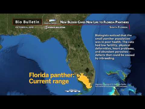 Science Bulletins: New Blood Gives New Life to Florida Panthers