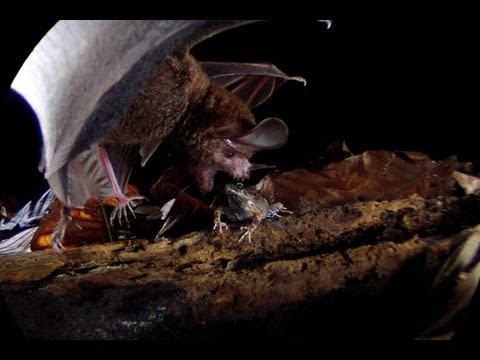 Frog-eating Bats: Smithsonian Scientist Rachel Page
