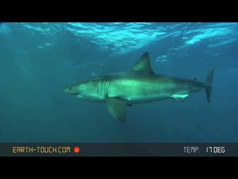 Eyeball to eyeball with a great white shark