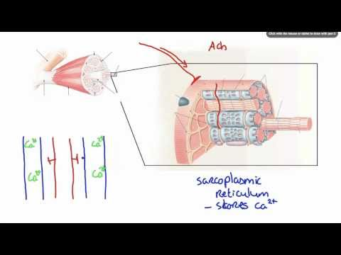 042 How Calcium ion release results in Muscle Contraction