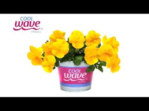 Cool Wave Pansies