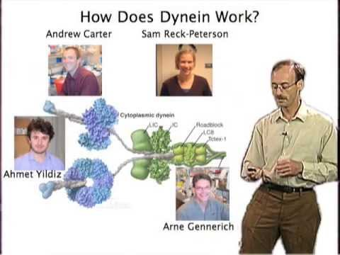 Ron Vale (UCSF) Part 2: Single Molecule Approaches for Understanding Molecular Motors