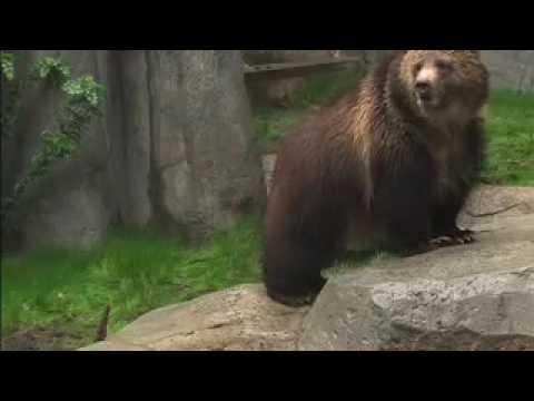 Grizzly bears, Nov. 30, 2007