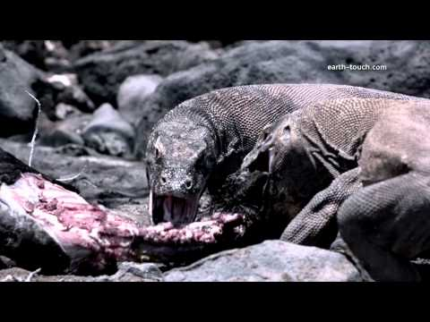 Komodo dragon charges film crew: Chasing the Dragon Ep 2