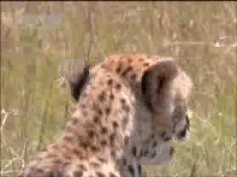 Cheetah feeds her baby cub - BBC wildlife