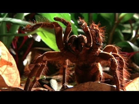 World's Weirdest - World's Biggest Spider