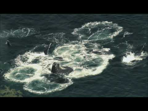 NATURE | Fellowship of the Whales | Feeding as a Team | PBS