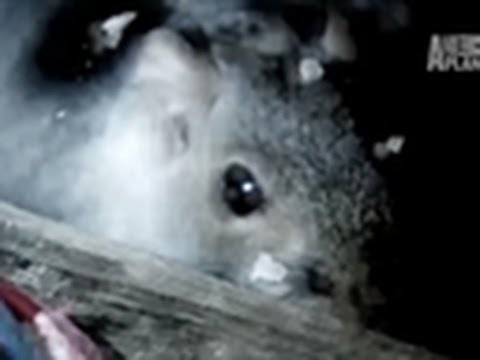 Squirrels May Burn Down House | Infested!