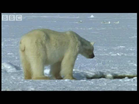 Polar Bear Hunts Beluga Whales - Blue Planet - BBC wildlife