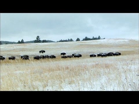 Kings of the Prairie - Bison Family Ties