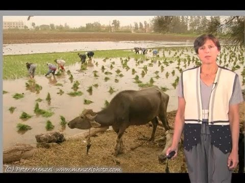 Pamela Ronald (UC Davis) Part 2: Engineering Disease and Flood Resistant Rice Strains