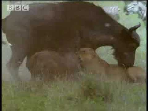 BBC: Grief and Loss - 5 Big Cats and a Camera