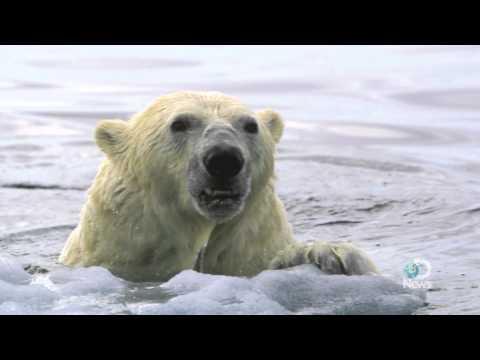 Polar Bears Forced to Swim Longer Distances