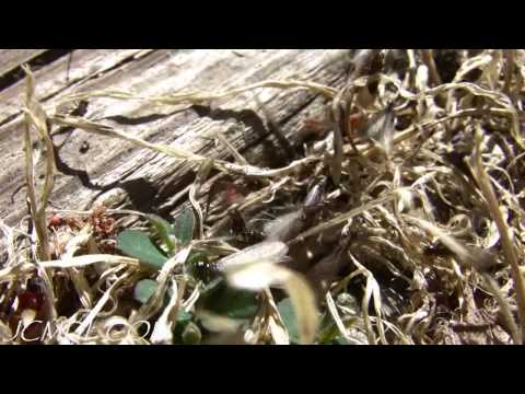 Termite Explosion!  720p HD Spring Emergence