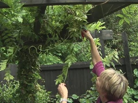 How To Clip Wisteria