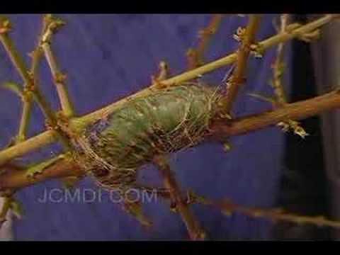 Caterpillar fails cocoon building 101 (time lapse)