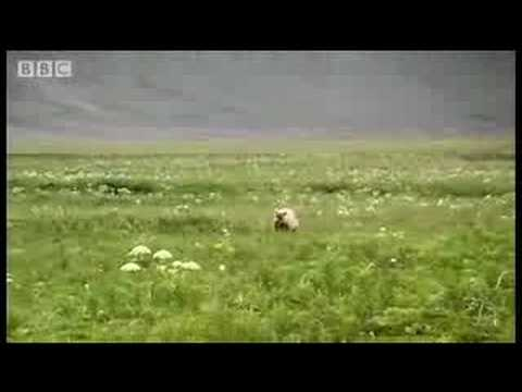 Camping in bear country - Bear Whisperer - BBC wildlife