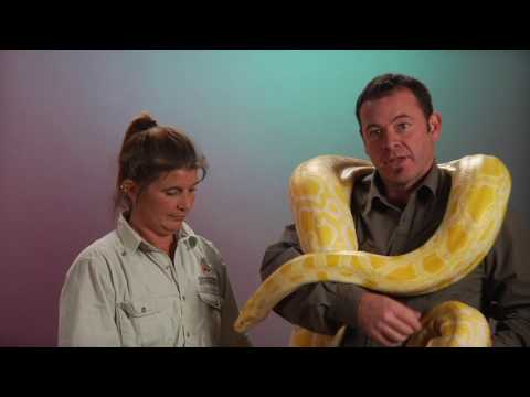 "NATURE ""Invasion of the Giant Pythons"" 