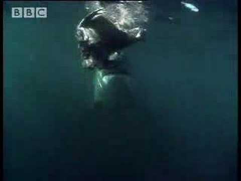 Great white shark in the seals habitat - BBC