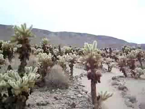 Cholla Garden, Joshua Tree National Park, California USA