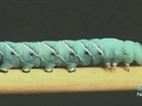 "Caterpillars ""Gut Slide"" to Get Around"