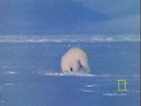 Animals Attack: Polar Bear vs. Ring Seal