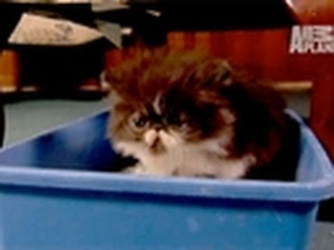 Too Cute!- Adorable Persian Kitten