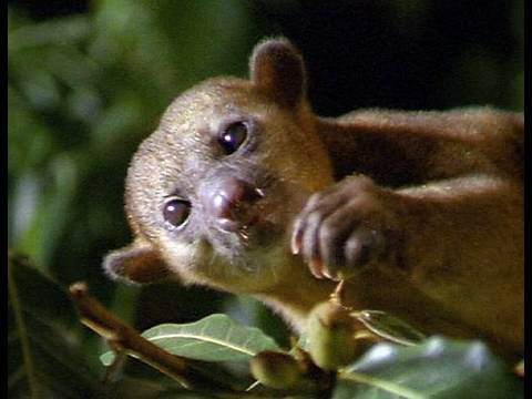 Cute and Cuddly Kinkajous