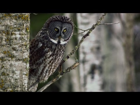 Untamed Americas - Great Grey Owl