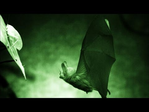Secret Life of the Rainforest - Cell Phone Training for Bats