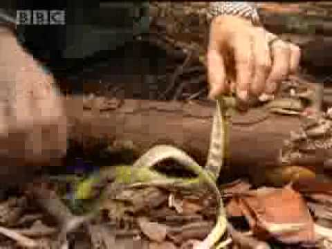 Endangered animals - teaching orangutans to be scared of snakes - BBC wildlife