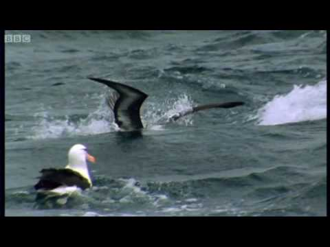 Endangered Wandering Albatross - Saving Planet Earth: Albatross - BBC