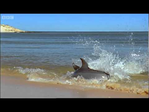 Hydroplaning Dolphins - Planet Earth - BBC