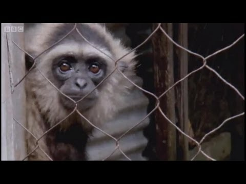 Negotiating gibbon release - Radio Gibbon - BBC