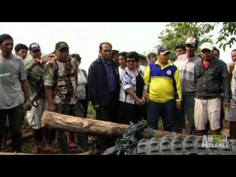 GIANT Croc Captured | Man-Eating Super Croc