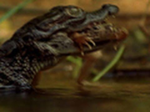 Baby Crocs Hunt Quickly