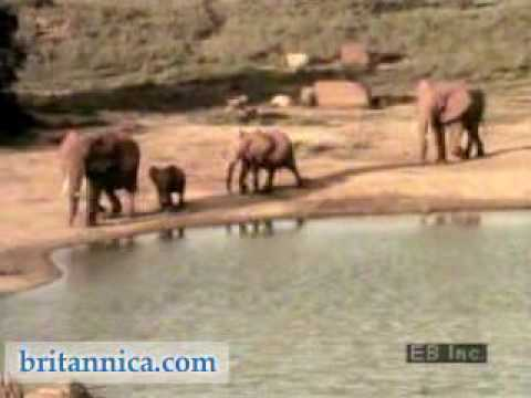 African Elephants in Their Habitat