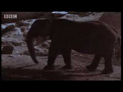 BBC Animals: Cave Under Construction - Elephants at Work! - Elephant Cave