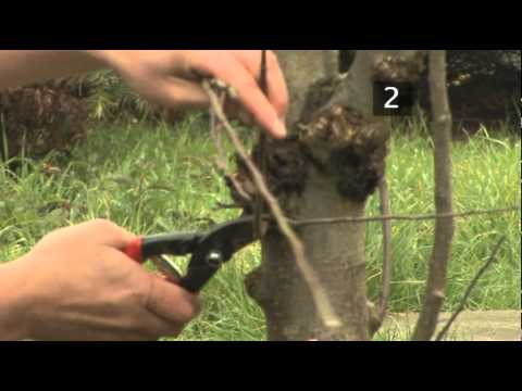 How To Prune Apple Trees Between Autumn And Spring