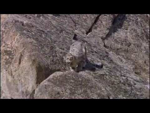 Rare snow leopard sighting  - Snow Leopard: Beyond the Myth - BBC animals