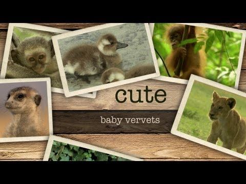 Cuteness alert: Baby vervet monkeys